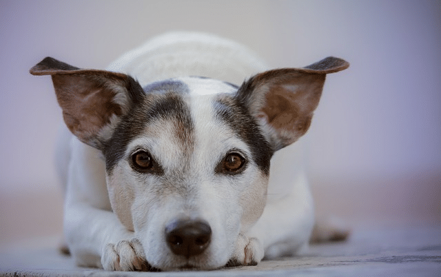 The dog ate chocolate; now what?