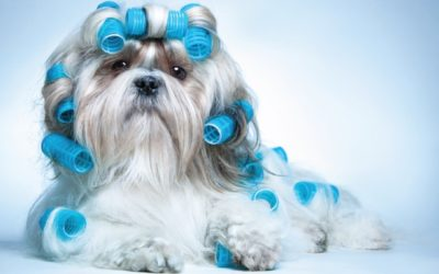 Dog with Hair Rollers